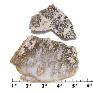 slab1043-Petrified Palmwood