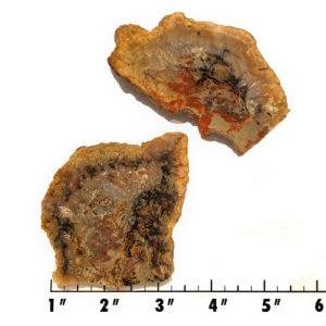 Slab1455 - Coprolite (Fossilized Dinosaur Dung) Slab