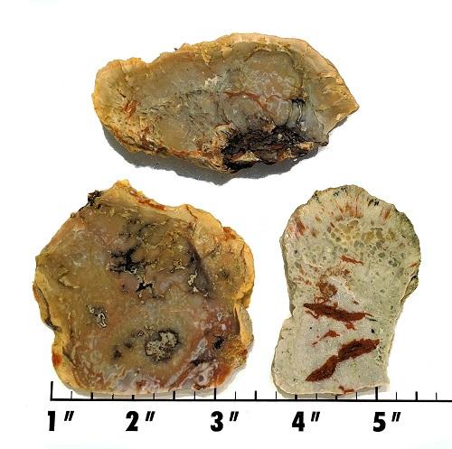 Slab251 - Coprolite (Fossilized Dinosaur Dung) Slab