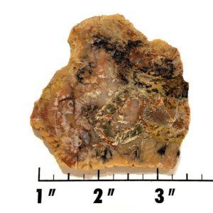 Slab1358 - Coprolite (Fossilized Dinosaur Dung) Slab