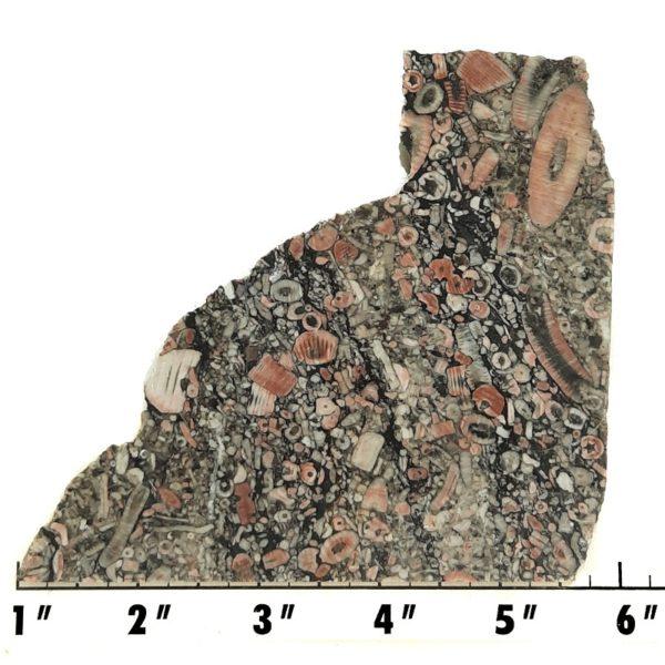 Slab1967 - Crinoid Marble Slab