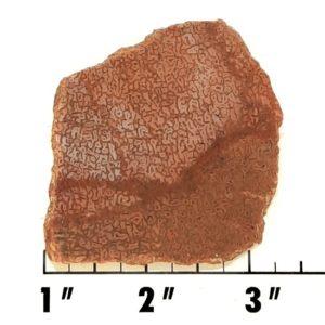 Slab705 - Dinosaur Bone slab