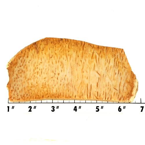 Slab827 - Petrified Palm Slab