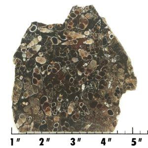 Slab60 - Turritella Slab