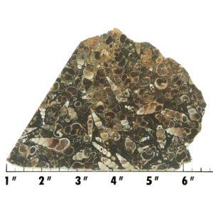 Slab62 - Turritella Slab
