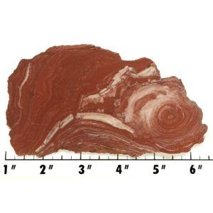 Slab1451 - Fossil Stromatolite Slab