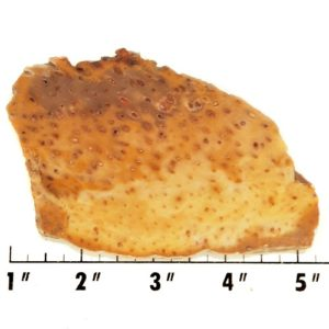 Slab1023 - Petrified Palm Slab